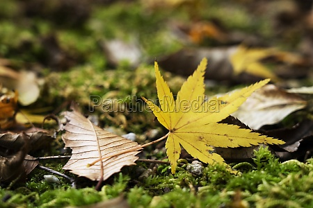 japanese yellow leaves falling on moss