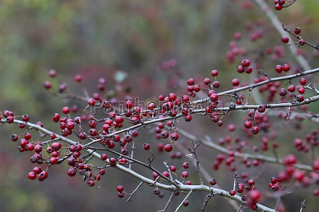 hawthorn bush with red fruits