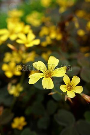 trifolium clover