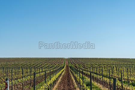 spring in vineyards in rheinhessen