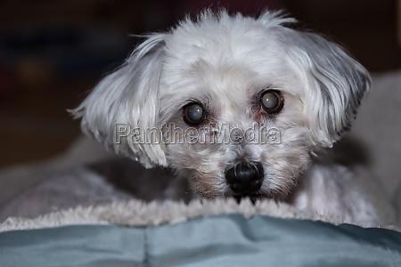 dog cataract eye disease