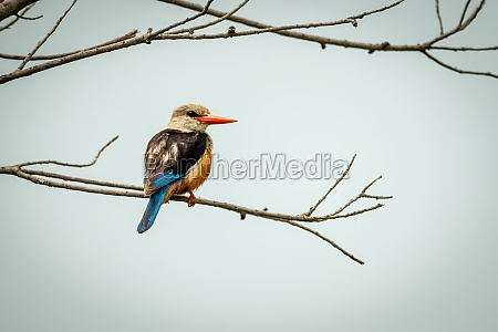 grey headed kingfisher on thin branch