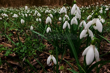 many fresh snowdrops on the forest