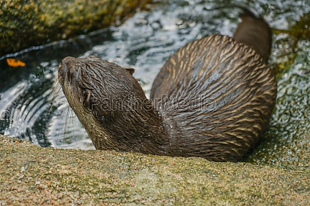 cute oriental small clawed otter image