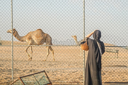 of the arabian desert camel united