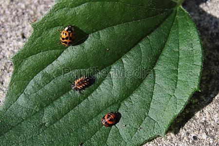 ladybird larva in the garden