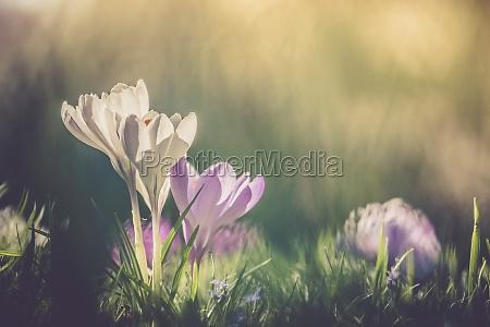 springtime spring flowers in sunlight outdoor