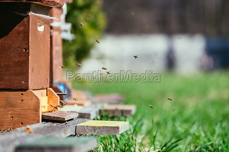 bees hive flying to the landing