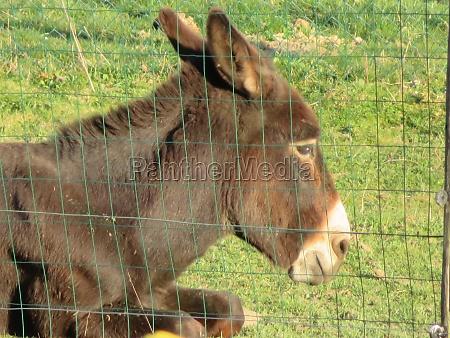 domestic animal donkey meek old brown