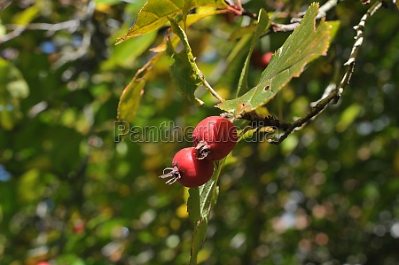 autun fruit