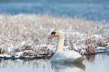 wild bird mute swan in winter
