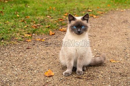 blue eyed kitten sitting on the