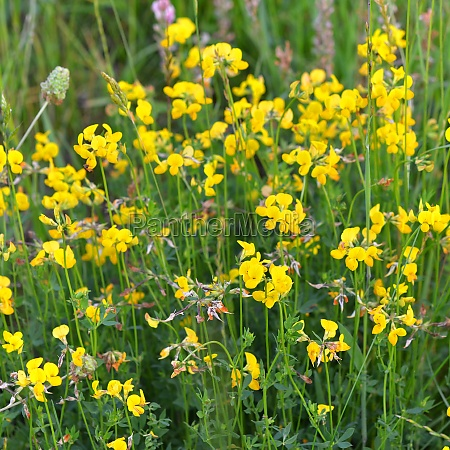 yellow flowering horn clover in a