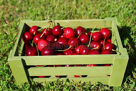 harvested cherries in a basket in