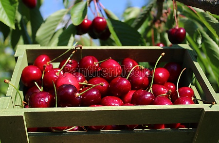 basket with ripe cherries in front