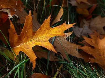 fallen autumn oak leaves with rain