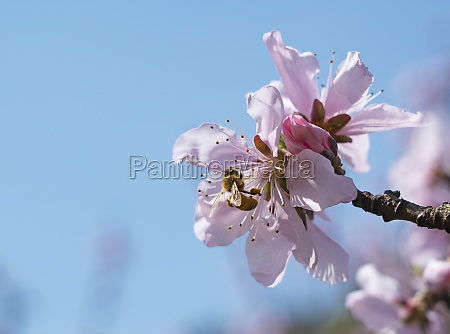 pink peach blossoms and honey bees