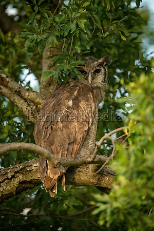 verreaux eagle owl peeks out behind