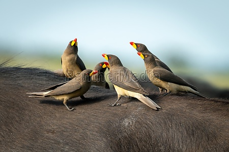 yellow billed oxpeckers perch together on