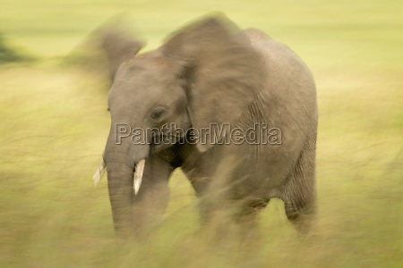 slow pan of african elephant flapping