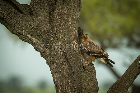 tawny eagle on tree trunk watching