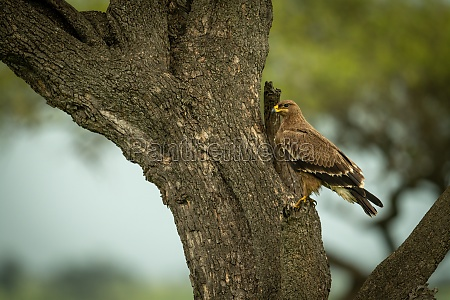 tawny eagle perches on trunk of