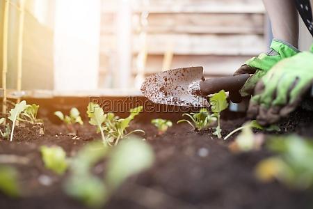 urban gardening planting fresh vegetables and