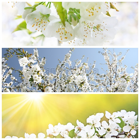 spring background with cherry blossom trees