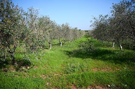 olive and orange groves in spring