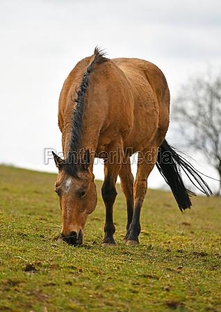 horses graze in the pasture