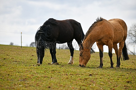 horses graze in the pasture