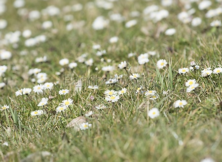 daisy flowers on the meadow