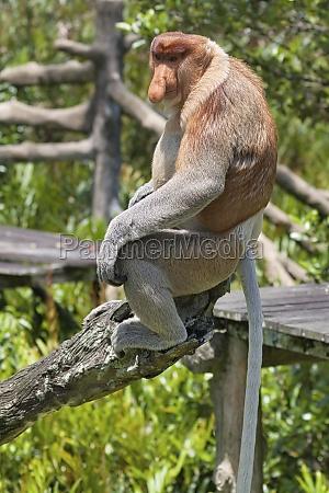 nose monkey in borneo