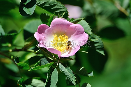 wild rose blossom with hover fly