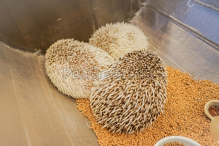 cute image of hedgehog four toed