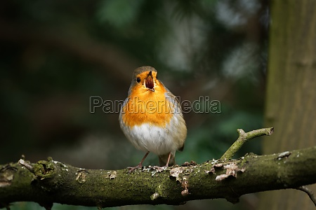 robin on a branch singing joyfully
