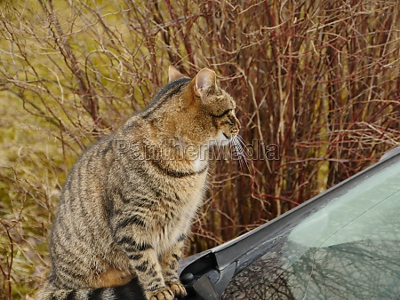 tabby cat sits on the hood