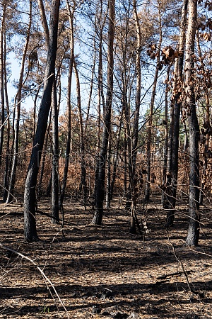destroyed forest after a forest fire