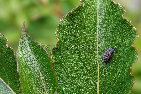 closeup of a ladybug larvae on