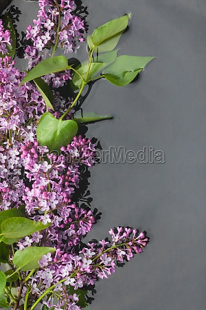 leaves and lilac flowers with dew
