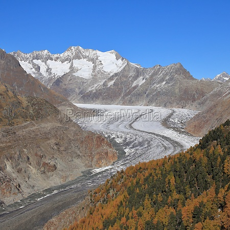 curved aletsch glacier and golden larch