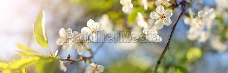 beautiful panoramic view of cherry blossom