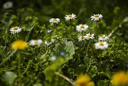 daisy flower in spring