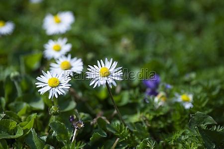 daisy flower in garden 5