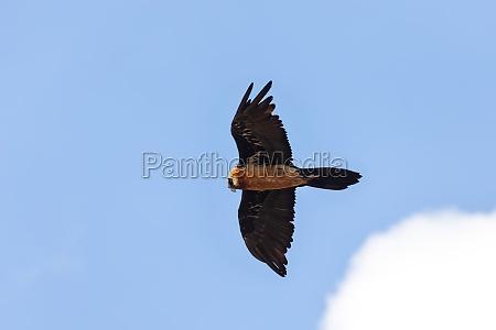 bearded vulture simien mountain ethiopia