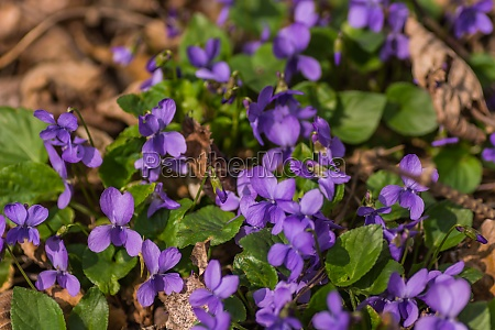 many fragrant violets in the sun