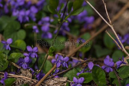 many fresh violet in the forest