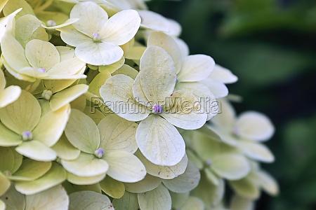 macro of white hydrangea flowers in