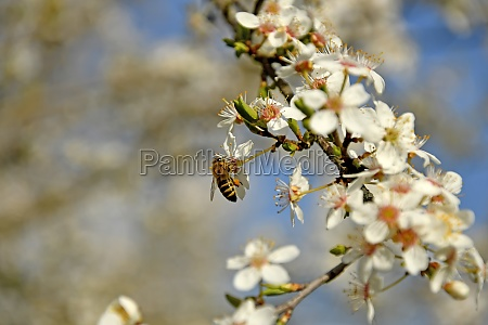 bee on wild mirabelle blossom in
