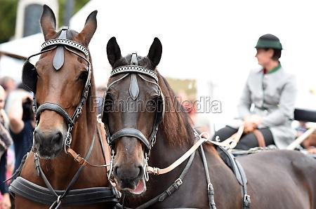 ein pferdegespann beim bauernmarkt in mondsee